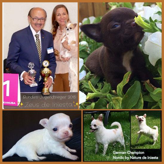 Willkommen bei den Chihuahuas de Iniesta